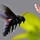 Carpenter bee - Female