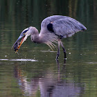 Great Blue Heron (Eating A Snapping Turtle)