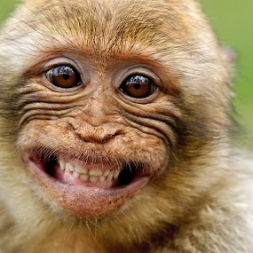 kleiner Flirt by Elke Krone - Animals Other Mammals ( freundlich, lachen, augen, gebiß, braun, berber, tier, affe, tierkind, zähne, berberaffe,  )