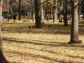 Photo: 2003年12月14日 黄色の絨毯  代々木公園、イチョウの葉が一面に広がる。 人々もカラスもその絨毯の上でくつろいでいた。