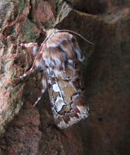 Photo: Pine Beauty moth 14 April 2015 © Keith Gittens 2015