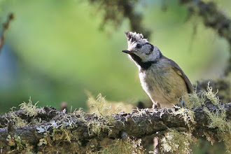 Photo: Crested Tit