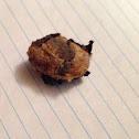 Luna Moth ( Cocoon )