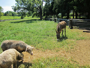 Photo: Sheep and a donkey at Carriage Hill Metropark in Dayton, Ohio.