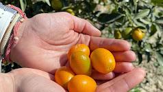 El kumquat bio es un cítrico de pequeño tamaño y gran sabor