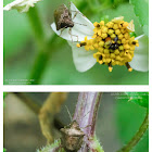 Eysarcoris ventralis 白星椿(廣二星椿)