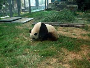 Photo: Panda bear at Beijing Zoo