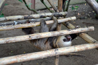 Photo: Klettergerüst für junge Faultiere: Klettern üben und Muskeln stärken bevor die Tiere wieder ausgewildert werden.