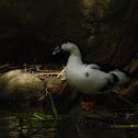 Pato doméstico común