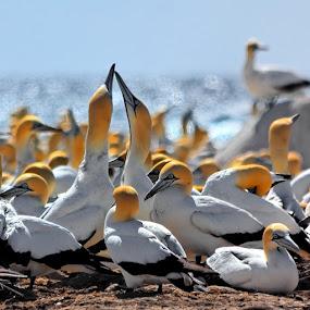 couple of birds by Gregoire Meyer - Animals Birds ( love, parade, beak, sea, couple, birds )
