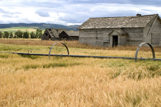 Photo: Old barn in wheat field, Star Valley, WY