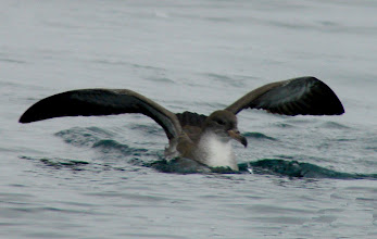 Photo: Pink-footed shearwater - pelagic trip out of Vina del Mar, Chile - Nov 16, 2010