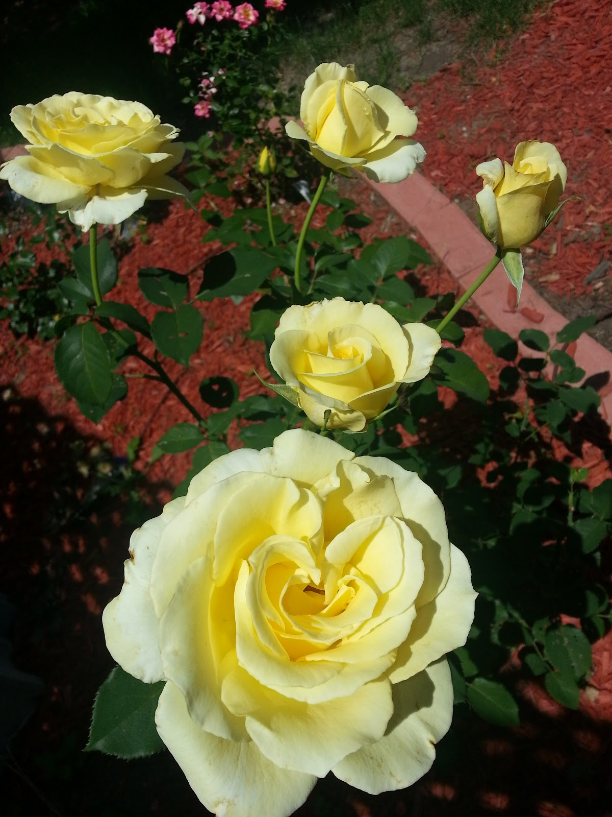 elina hybrid tea rose picture
