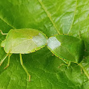 Green stink bug (mating)
