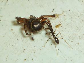 Photo: ant spider