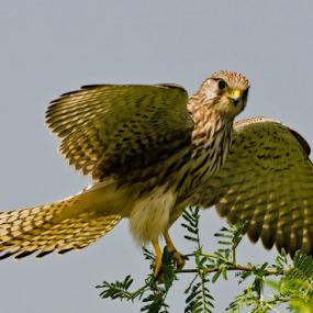 Kestrel on Perch by Sam's 1 Shot - Animals Birds ( sub, bird of prey, southern, ghat, kite, continent, indian, western, raptor, eagles,  )
