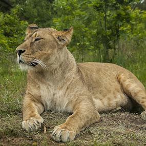 Majestic lioness by Lindberg-Photo.dk, Mathias Lindberg - Animals Lions, Tigers & Big Cats ( lindberg, givskud zoo, lion, zoo, lindberg-photo, lioness, lindberg-photo.dk, mathias lindberg, denmark,  )