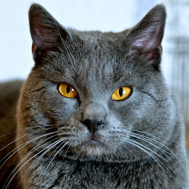 Hannibal 1012 by Serge Ostrogradsky - Animals - Cats Portraits (  )