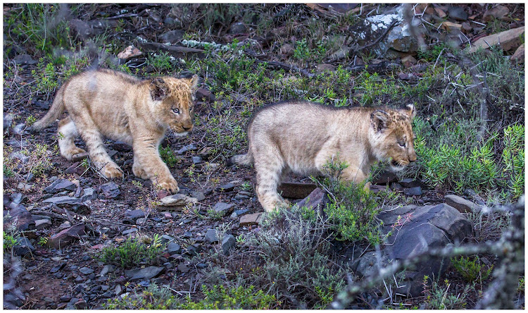 Sylvester's two cubs photographed on September 10 2018
