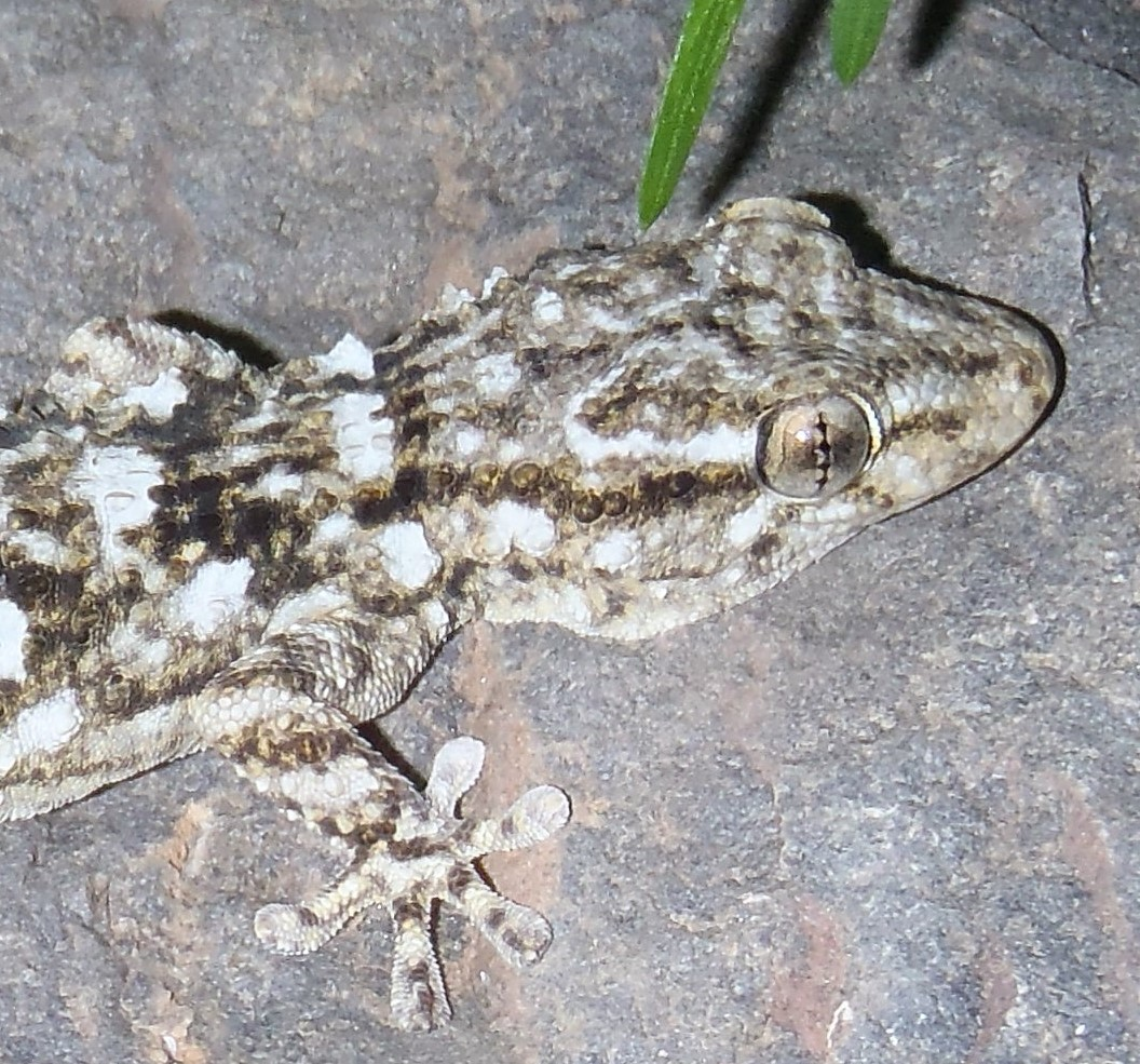 Moorish wall gecko. Salamanquesa común