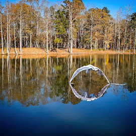 Fall Reflections by Sandy Scott - Landscapes Waterscapes ( egret, seasons, water birds, brid, reflections, shore birds, colors, fall, waterscape, wings, great egret, lake, egret in flight, landscape )