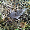 Lesser White-toothed Shrew
