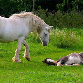 Curiousity... by Ian Cormack - Animals Horses