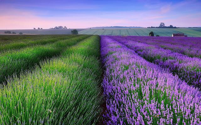Lavender - New Tab in HD
