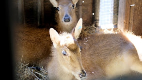 Fawns Become Friends thumbnail