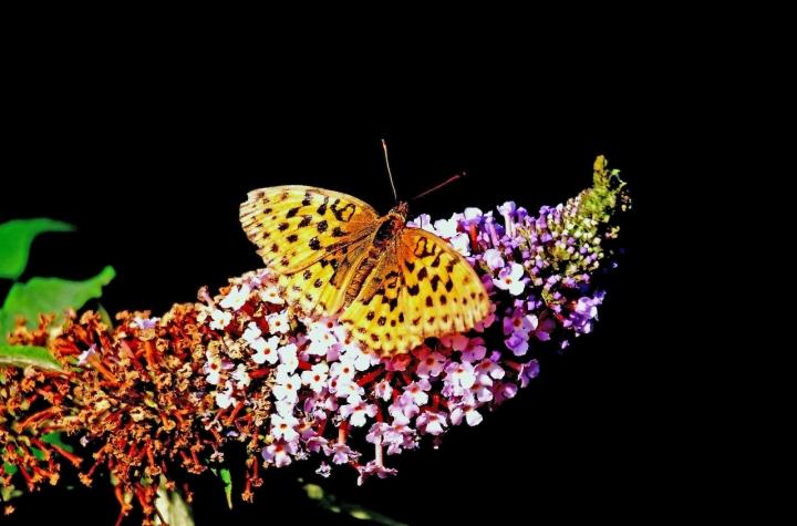 Farfalla di acquario