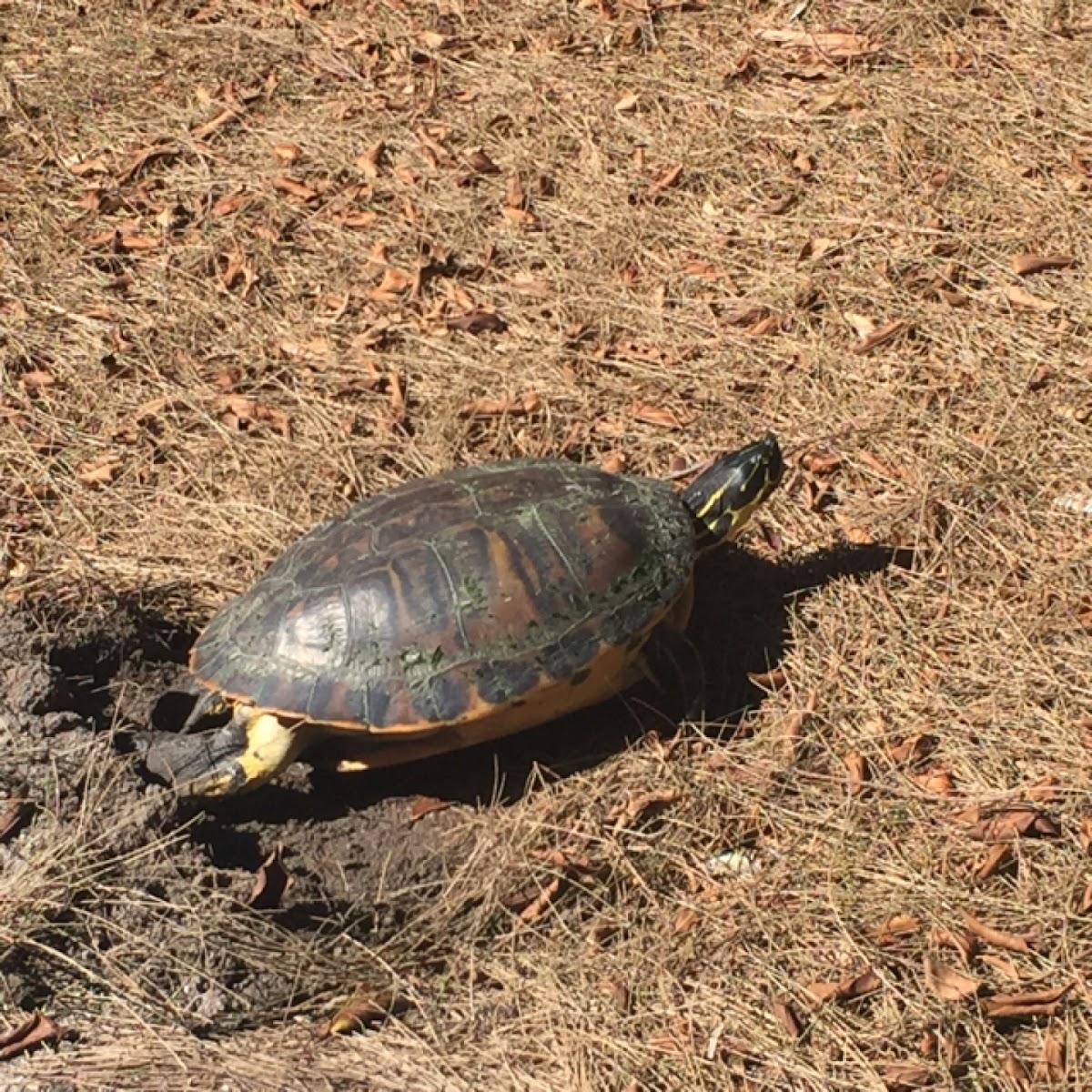 Florida Red-bellied Turtles