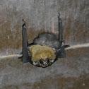 Sheath-Tailed Bats