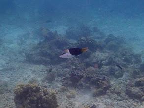 Photo: Hemigymnus melapterus (Juvenile Blackeye Thicklip Wrasse), Entatula Island Beach Club reef, Palawan, Philippines.