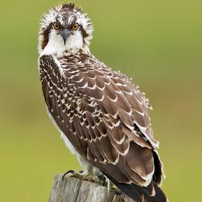 Wild Osprey by Herb Houghton - Animals Birds ( wild, bird of prey, raptor, herbhoughton.com, non captive, osprey )