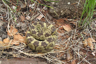 Photo: Blacktail rattlesnake at spring.