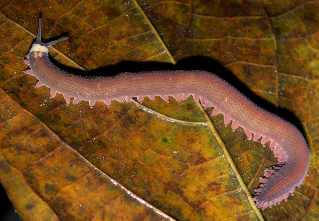 File:Velvet worm rotated,