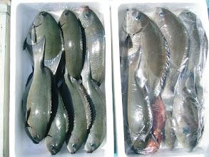 Photo: 4/12-13日 ウキ流し釣りに行ってきました。 今回は良型混じりでオナガグロも20数匹入りました!