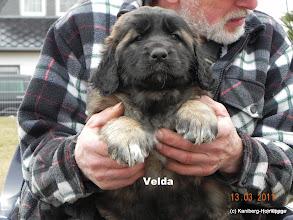 Photo: Velda, 7 Wochen alt