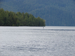 Photo: An Orca swims into the channel at Green Inlet.