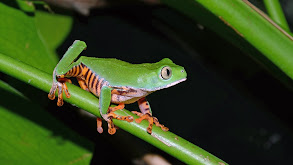 Fabulous Frogs thumbnail