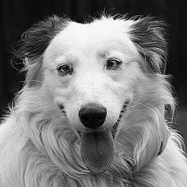 B&W Dog by Chrissie Barrow - Black & White Animals ( monochrome, black and white, long hair, pet, fur, dog, mono, lurcher, portrait, animal )