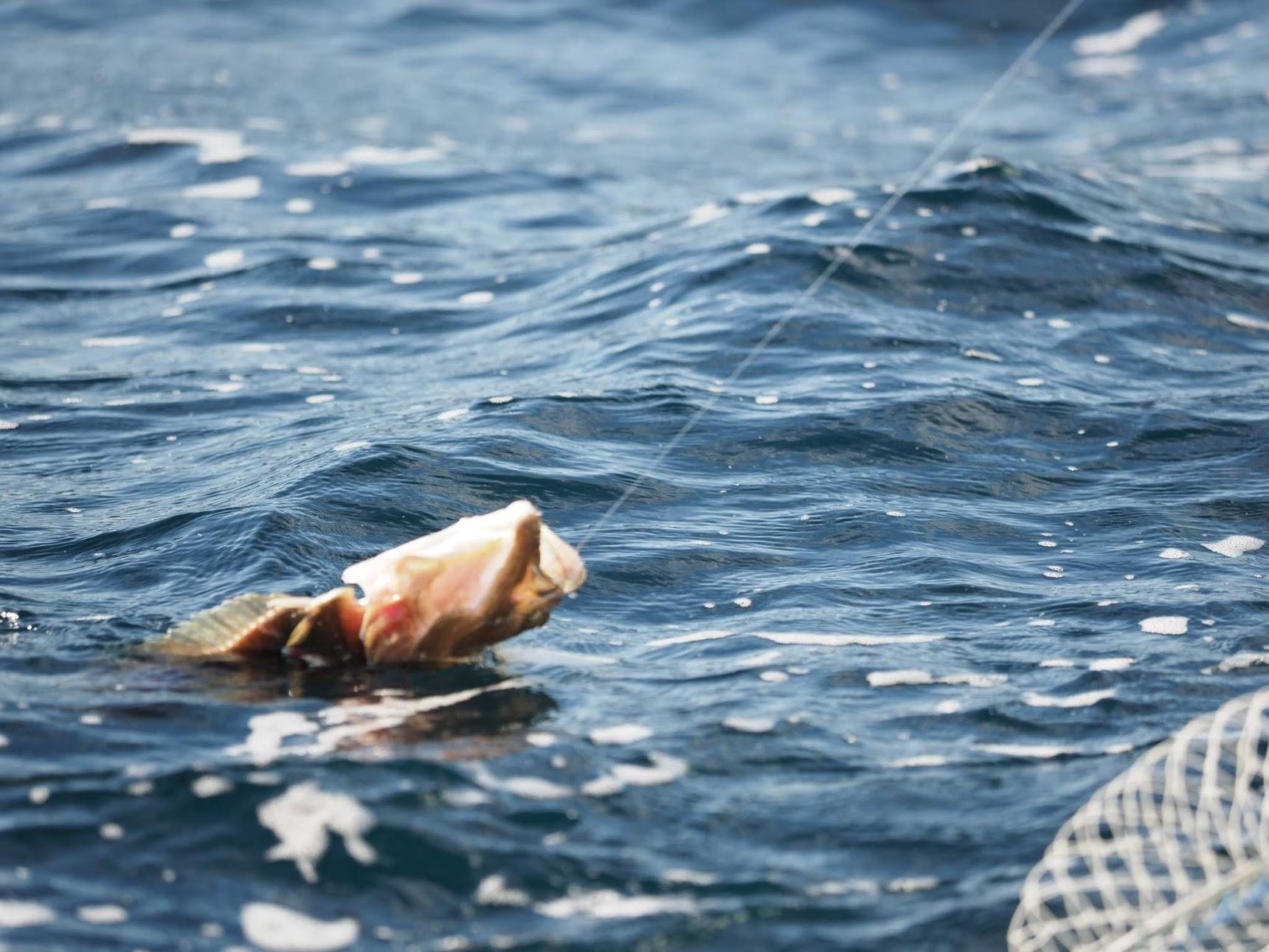 泳がせで釣ったヒラメ