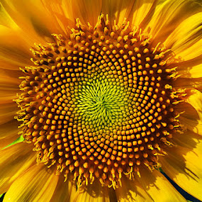 The Sun by Ganjar Rahayu - Nature Up Close Flowers - 2011-2013