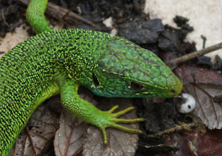 Photo: Lacerta viridis     Lézard vert