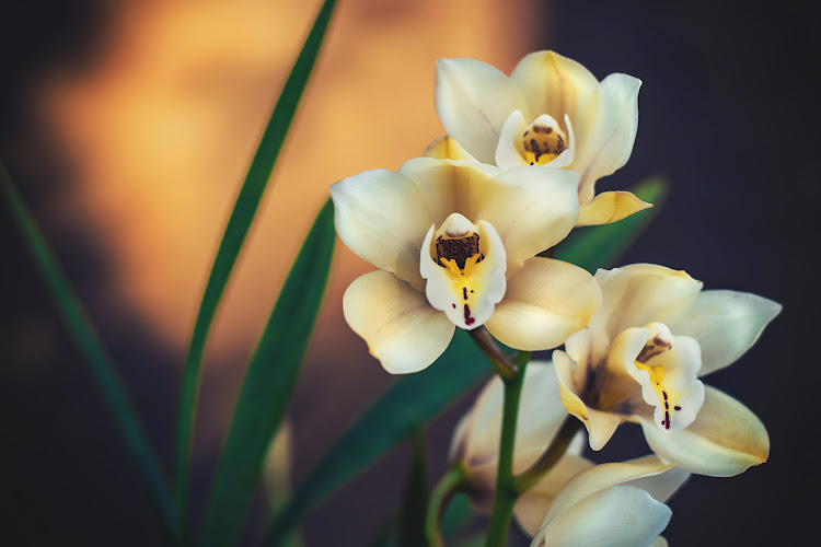 The Cymbidium Orchid.