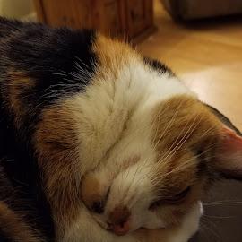 Sleeping Cat by Jodi Mara - Animals - Cats Portraits ( cat, sleeping, calico,  )