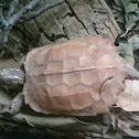 Black-Breasted Leaf Turtle