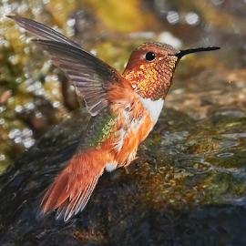 HummerFun 564~ by Raphael RaCcoon - Animals Birds