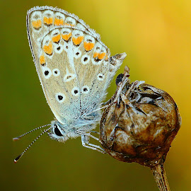 Azuré sur gousse by Gérard CHATENET - Animals Insects & Spiders