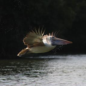 Pelican by Rajkumar Biswas - Animals Birds ( wings, pelican, birds )